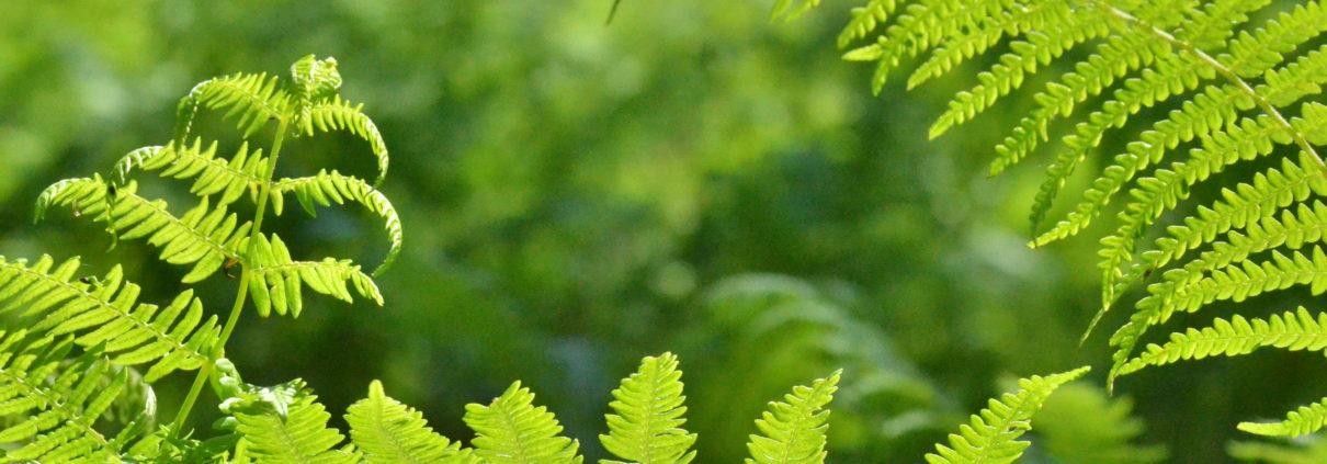Fougère de la forêt de Fougères